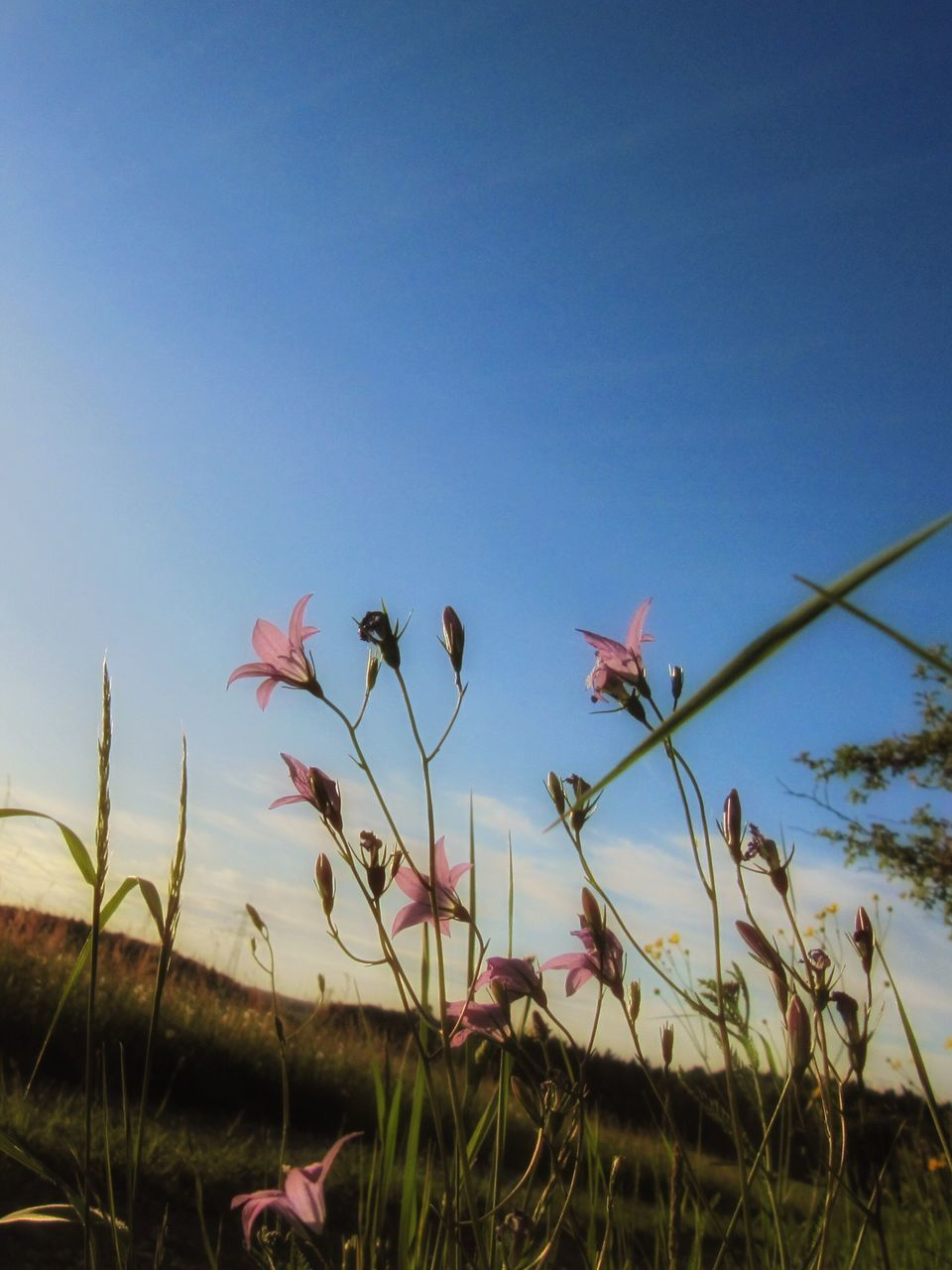 plant, sky, growth, beauty in nature, flowering plant, flower, nature, freshness, land, close-up, field, vulnerability, fragility, no people, clear sky, petal, day, blue, copy space, tranquility, outdoors, flower head
