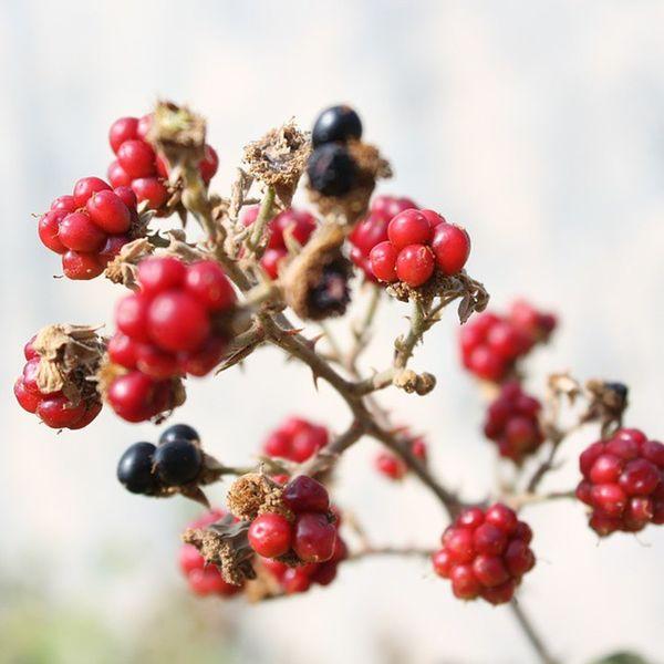 Kırmızı Bogurtlen Blackberries