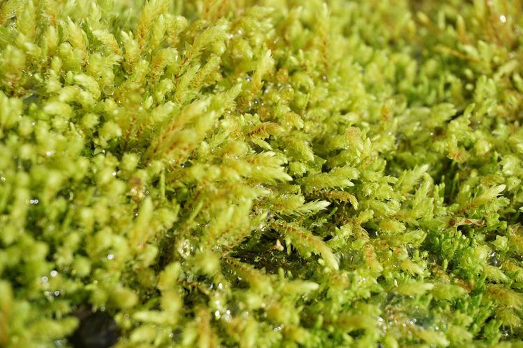 Moss Icelandic