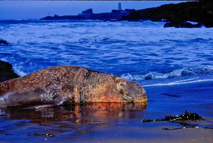 Animal Themes Animals In The Wild Beauty In Nature Blue Building California Day Elephant Seal Flsdh Mammal Nature No People One Animal Outdoors Relaxation Rock - Object Sea Swimming Water Wildlife Wounds