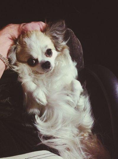 Puppy Chihuahua Friend Dog Sleeping Dog Beautiful Eyes Pretty Nyiann Relaxing 😜