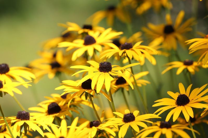 I adore Black eyed Susan's because they seem to want to make their own sunshine. 🌼🌞🌻 Growth Fragility Yellow Petal Beauty In Nature Flower Head Vulnerability  Inflorescence Close-up Focus On Foreground Nature Black-eyed Susan No People