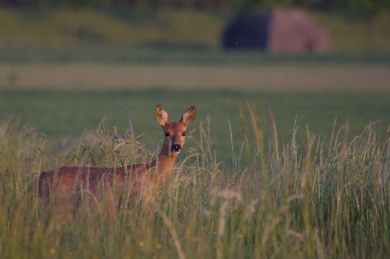 Portrait of deer standing on grassy field