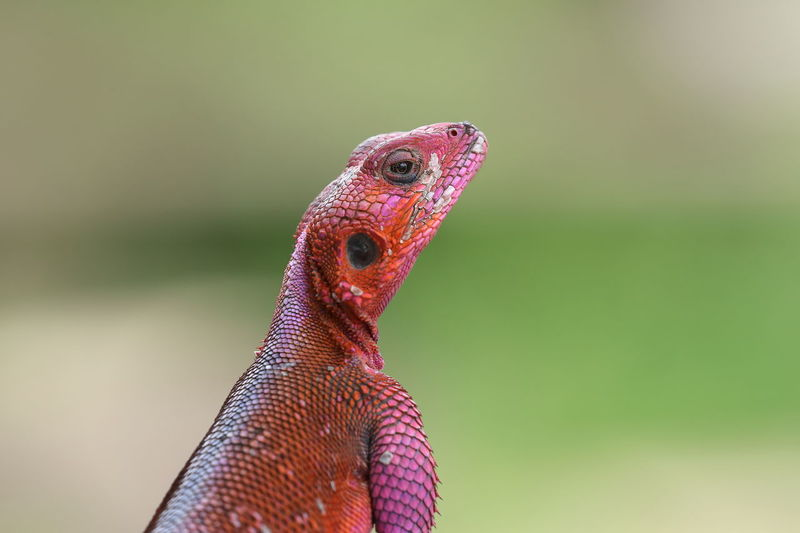 A rainbow rock agama up close
