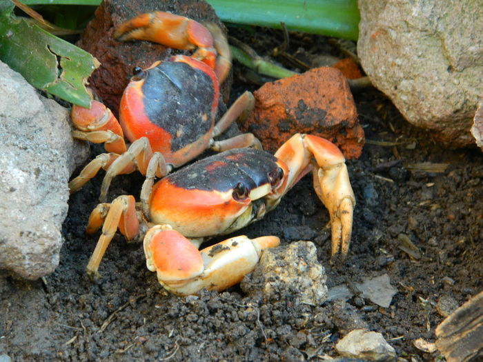 Sea Life Beach Crustacean Seafood Rock - Object Close-up Animal Themes Crab
