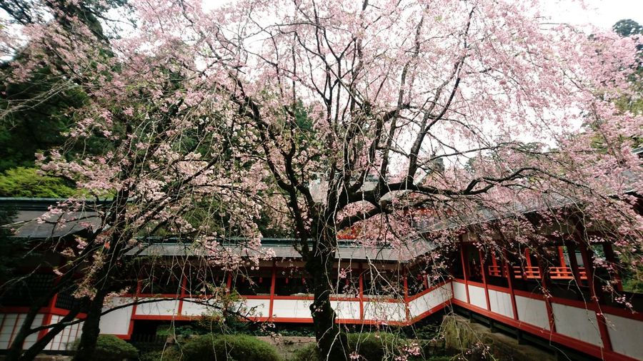 Tree Built Structure Architecture Outdoors Beauty In Nature No People Flower Sakura Pink Color Growth Japan Photography Kirishima Kirishiama Jingu Cultural