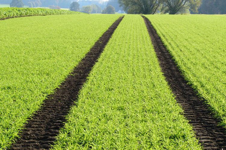 Scenic view of corn field