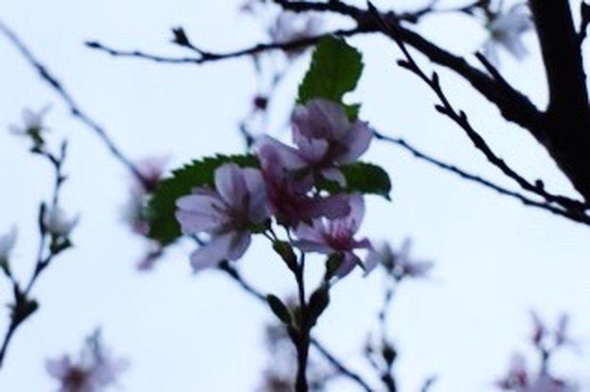 花 Flower 冬桜。