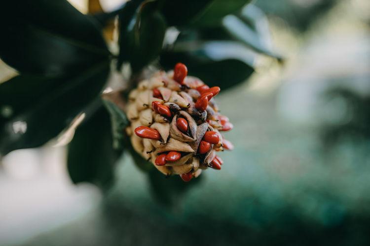 Close-up of magnolia fruit on plant