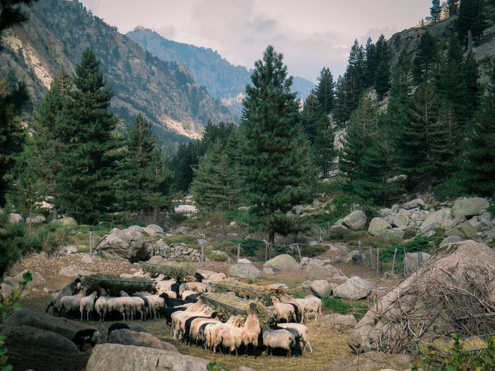 Flock of sheep standing on land against trees