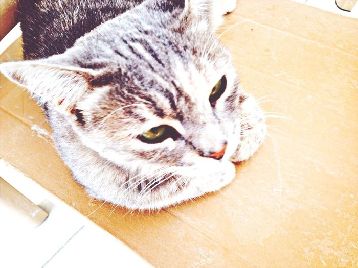 Short Cat Gray Green Cat