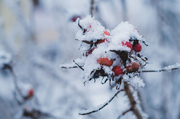 Beauty In Nature Berry Branch Close-up Cold Temperature Day Focus On Foreground Frozen Nature No People Outdoors Red Snow Tree Weather White Color Wild Rose Wildberries Winter