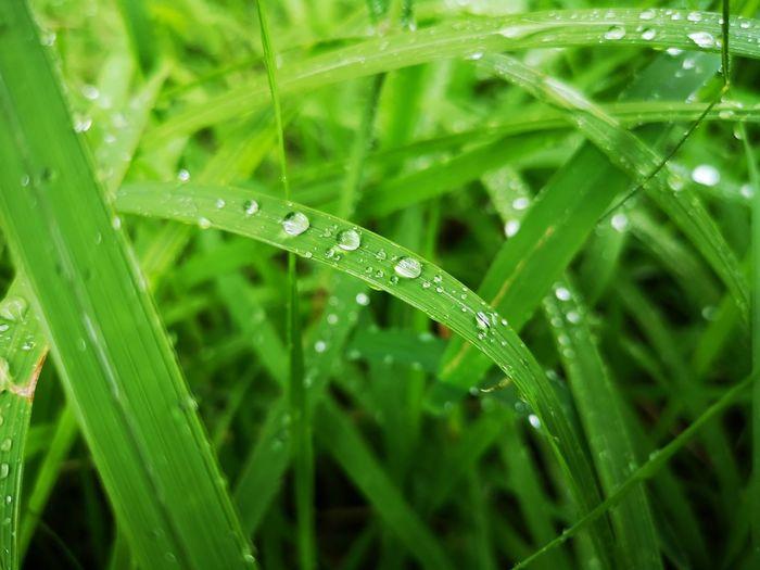 Close-up of wet grass during rainy season