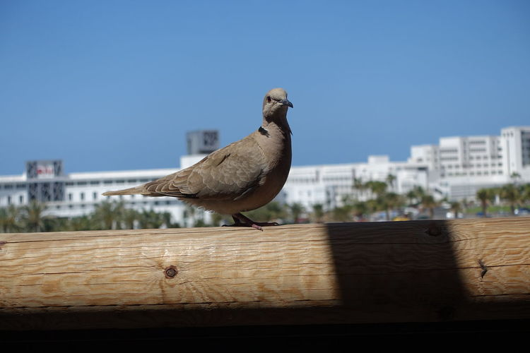 Close-up of seagull perching on wood against sky in city