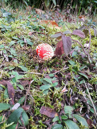Baby Mushroom Fly Agaric Mushroom Growth High Angle View Innocent Danger Mushroom Nature Red