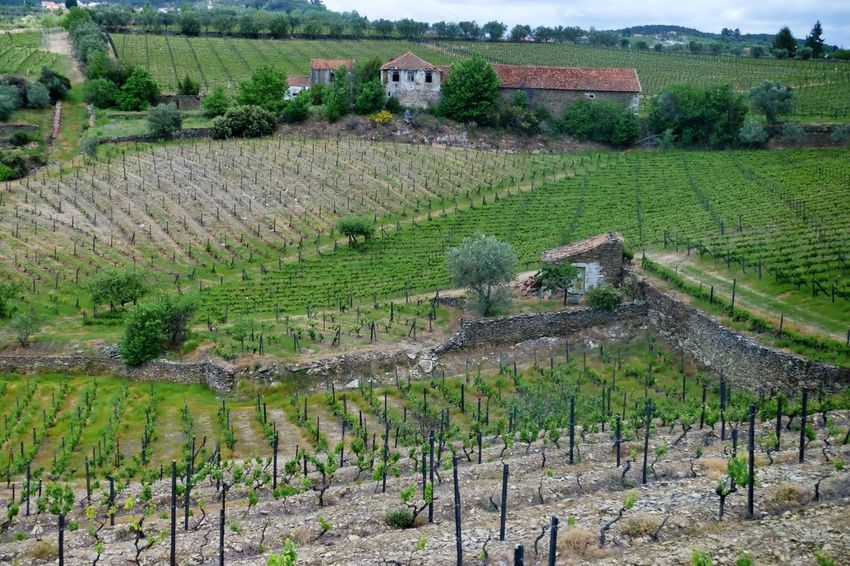 Portuguese vineyard Agriculture Plant Growth Field Landscape Crop  Rural Scene Farm Architecture Built Structure Environment Land Scenics - Nature Building Exterior Green Color Day Vineyard High Angle View Building Beauty In Nature
