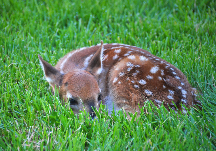Animal Head  Animal Themes Animals Animals In My Yard Baby Animals Baby Wild Animal Brown Day Deer Fawn Focus On Foreground Grass Grassy Green Color Herbivorous Mammal Morning Surprise Nature Newborn Newborn Fawn One Animal Outdoors Spotted Deer Wild Animals Zoology