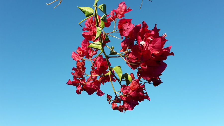 Low angle view of red flowering plant against clear blue sky