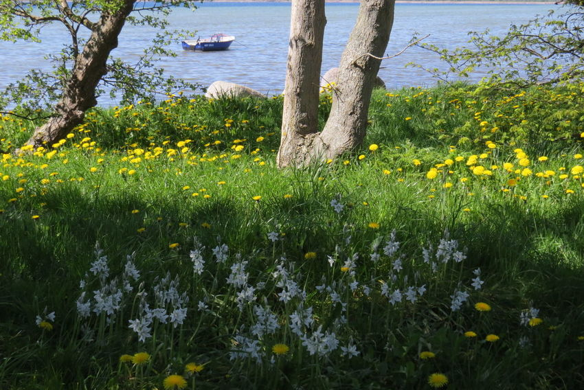 Frühlingsblumen Beauty In Nature Blooming Boat On The Water Day Flower Grass Nature No People Outdoors Plant Tree Water Yellow