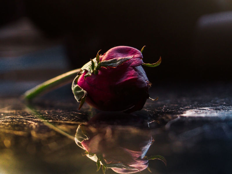 Bad Valentine. No People Valentine Close-up Nature Red Closing Day Fragility Outdoors Freshness Rosé Roses Deadrose Dead Rose Bad Valentine Badvalentineday Flower Red Rose Redrose  Mirror Picture Mirror Effect Mirrored Reflection Reflect Reflection Photography