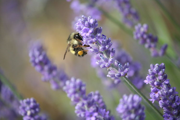 Close-Up Of Bee Pollinating On Lavender Flower