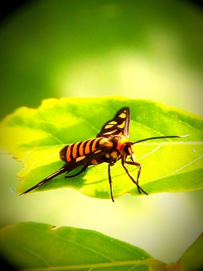 Tiger Moth Insect Green Color Leaf Nature Close-up Outdoors Full Length Macro Photography Eeyemedit Eeyem Pick