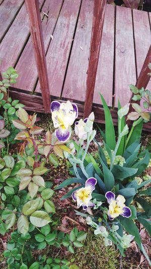 Iris Iris -