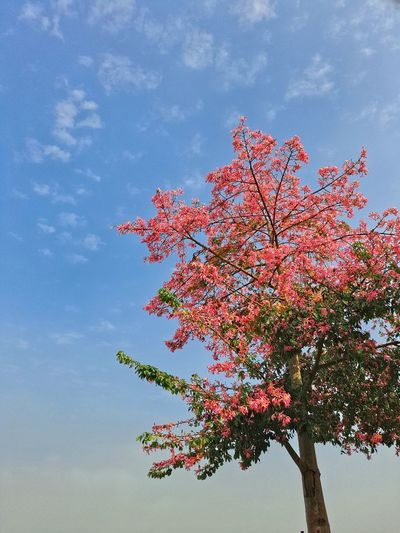Beauty In Nature Blossom Branch Close-up Day Flower Fragility Freshness Growth Low Angle View Nature No People Outdoors Pink Color Sky Springtime Tranquility Tree