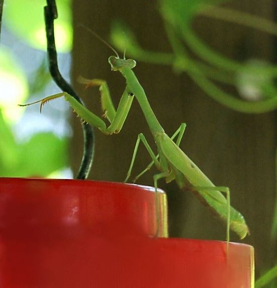 Prayingmantis Looking for something to eat