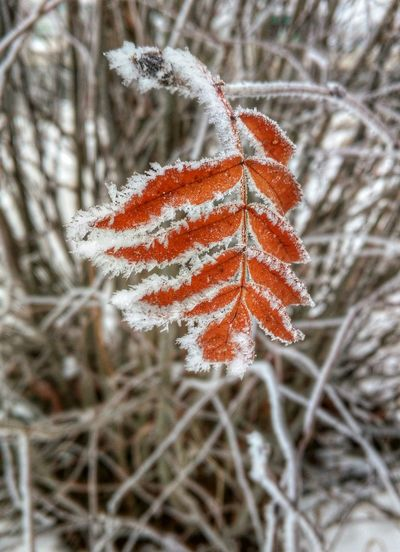 It's Cold Outside Frozen Close-up Eyemphotography EyeEm Nature Lover Snowflake Snow Beuty Of Nature Leafs Winterscapes Winter Wonderland Winter_collection Wintergarden Canada Frosty Leaves Frosty Mornings Frost Last Leaf Showcase: January The Great Outdoors - 2016 EyeEm Awards