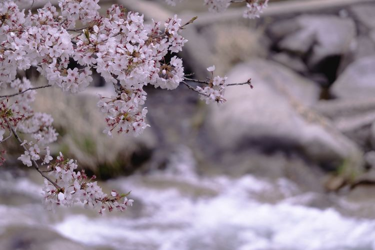 Flower Flowering Plant Plant Beauty In Nature Freshness Growth Springtime Nature Tree Close-up Fragility Day Blossom No People Selective Focus Petal White Color Cherry Blossom Flower Head Cherry Tree Softness Sakura Riverside Pink Color Pink Flower