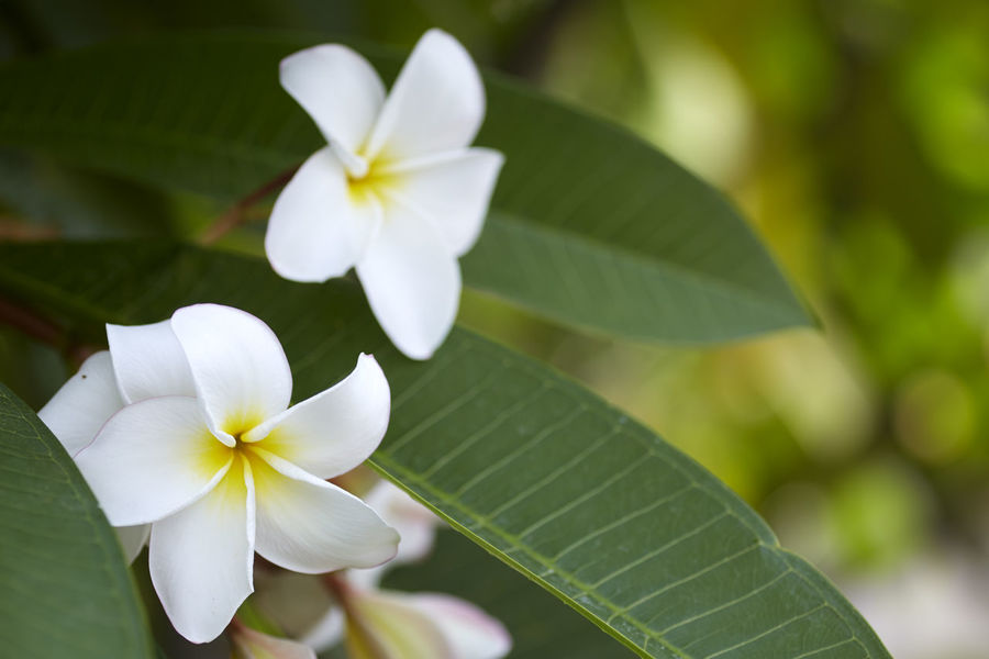 Beauty In Nature Close-up Flower Flower Head Flowering Plant Focus On Foreground Fragility Frangipani Freshness Green Color Growth Inflorescence Leaf Nature No People Outdoors Petal Plant Plant Part Vulnerability  White Color
