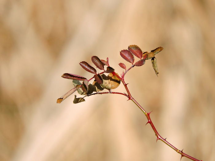 Wild Roses Plant Growth Close-up Focus On Foreground Beauty In Nature Flower Nature Fragility Flowering Plant No People Vulnerability  Freshness Day Selective Focus Twig Outdoors Bud Plant Stem Petal Brown Flower Head Wilted Plant Natural Condition