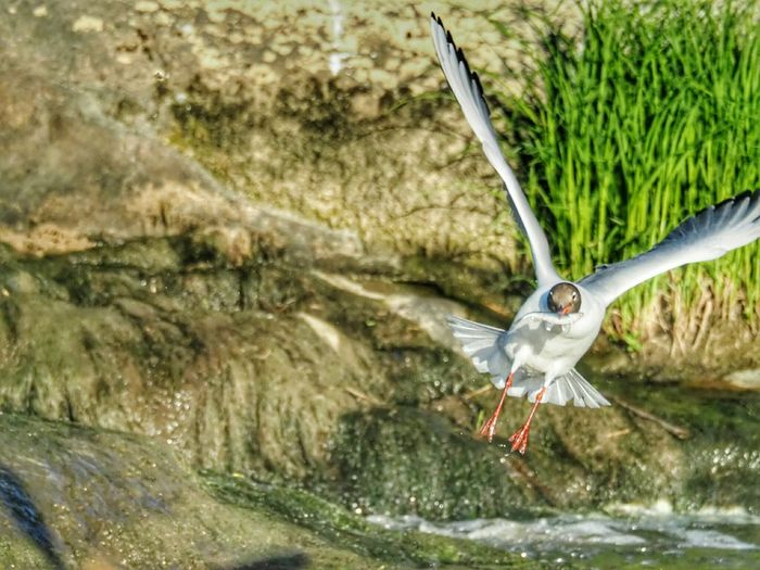 Catching Fish Food For Animals Birds In The City Laughing Gull Flying Bird Spreading Wings Wings Open Animal Wildlife Bird Photography White Bird Bird In Flight Nature Photography Flying High Staring At The World Bird's Eye View Bright Day Proud Bird Water Flying Bird Spread Wings Close-up Animal Themes The Great Outdoors - 2018 EyeEm Awards