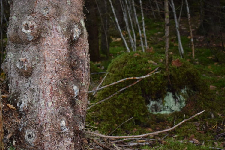 Branchless pine tree Pine Without Branches Crying Tree Branchesless Pine Bark Pine Trunk Tree Plant Trunk Tree Trunk Forest Land Nature No People Focus On Foreground Moss WoodLand Outdoors Close-up Tranquility Plant Bark Bark Textured  Rainforest