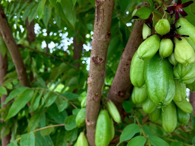 bilimbi (averhoa bilimbi lin) cucumber fruit also called belimbing buluh in Malaysia. commonly used for culinary as flavor enhancer Green Color Growth No People Food And Drink Tree Food Leaf Nature Day Fruit Freshness Outdoors Close-up Healthy Eating Plant Beauty In Nature Averhoabilimbi Bilimbi