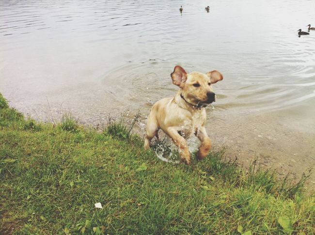 Amber Labrador Swimming