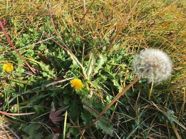 移りゆく季節 タンポポ 秋 Autumn Dandelion