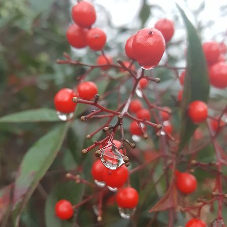Berries and raindrops. My Year My View Red Nature Winter Close-up Growth Fruit Rose Hip Focus On Foreground Beauty In Nature Tree Cold Temperature No People Branch Outdoors Day Agriculture Fragility Freshness Tranquility Environment Beauty In Nature Clouds, Nature, My View Tranquil Scene Reflection