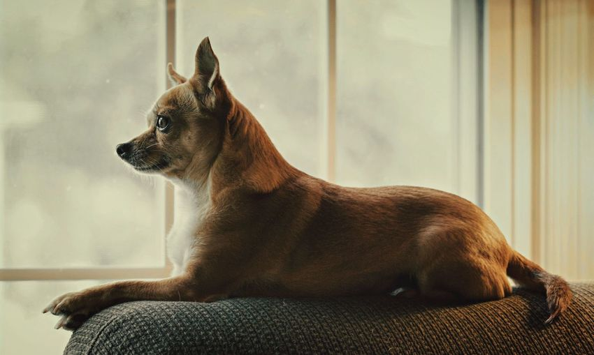 Chihuahua Sitting On Armrest Next To A Window