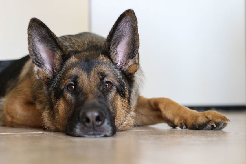 Animal Themes Close-up Day Dog Domestic Animals German Shepherd Indoors  Looking At Camera Lying Down Mammal No People One Animal Pets Portrait Relaxation Domestic Canine Indoors  Looking At Camera Resting Animal Body Part Flooring