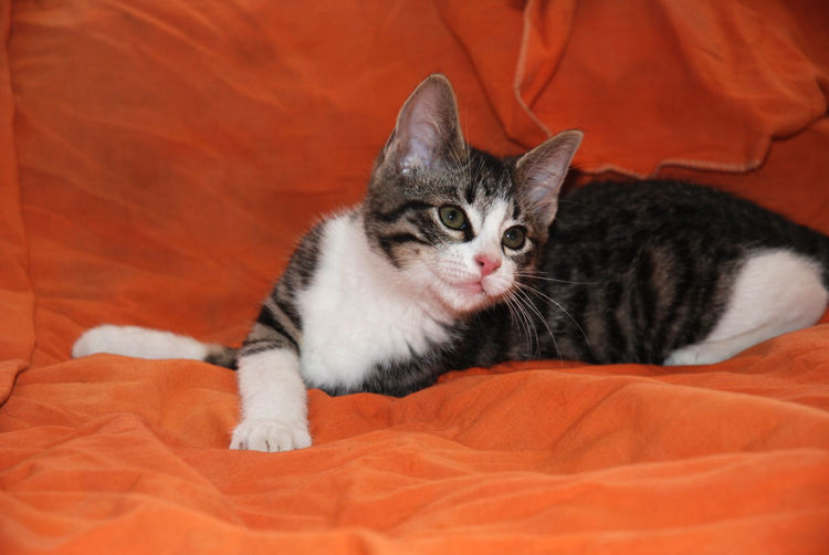 Tabby and white kitten Simba posing on orange sheet Animal Head  Animal Themes At Home Bed Bedding Cat Comfortable Domestic Animals Domestic Cat Duvet Feline Indoors  Kitten Kitten's Kittens Kittens Of Eyeem Kitty Looking At Camera Mammal One Animal Pets Relaxation Sheet Tabbuche Whisker
