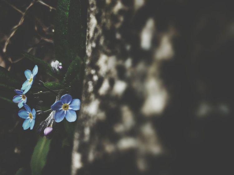 Forget Me Nots Heavenly Blue Blue Flowers Macro
