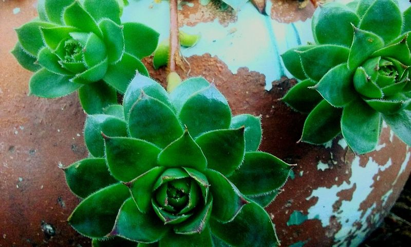 Green Color Leaf Plant Succulent Plant Close-up Nature Spiked Houseplant Freshness Beauty In Nature Outdoors Green Botany Hens And Chickens