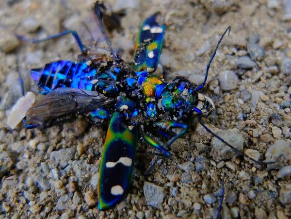 Shining still have died-Cicindela chinensis Insect Traffic Accident Animals In The Wild Animal Wildlife Multicolors  Nature Beauty In Nature Close-up Outdoors Day Shining Bright
