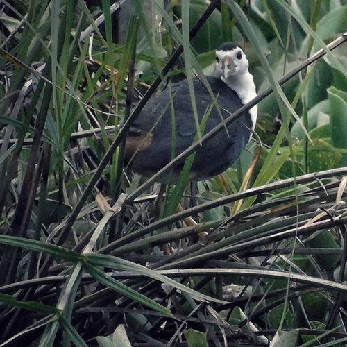 Ruwak-ruwak , koreo padi Bird Wildlife Documentary Dailylife H400 Sony Sonycamera 1000kata Pewartafotoindonesia Pfikepri Hipaae