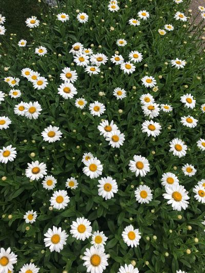 Daisies for daysss Flowers Dasiy Flowering Plant Flower Freshness Plant Fragility Vulnerability  Beauty In Nature