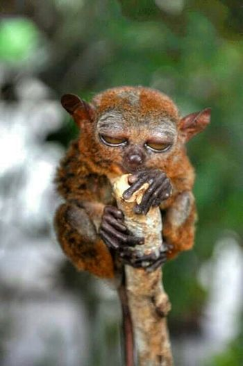 Tarsier Bohol Philippines Taking Photos Check This Out Smallest Primate Nikon D90 Nikon Pics