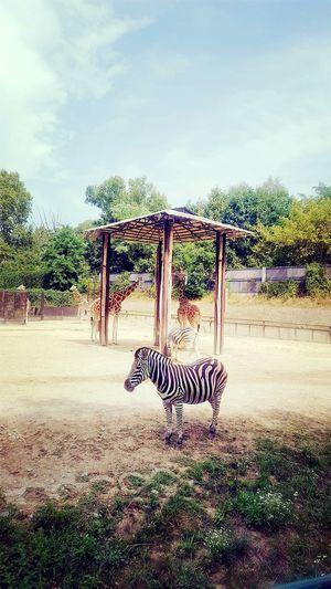 EyeEm Best Shots Eyeemphotography Samsungphotography Outdoors Day EyeEm Selects Zoo Zoophotography Zebra Zebra Stripes Parks And Recreation The Week On EyeEm EyeEmNewHere