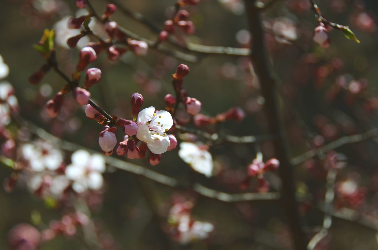 flower, blossom, growth, fragility, tree, twig, nature, branch, beauty in nature, freshness, springtime, apple blossom, botany, petal, orchard, apple tree, white color, close-up, no people, flower head, day, plum blossom, outdoors, blooming